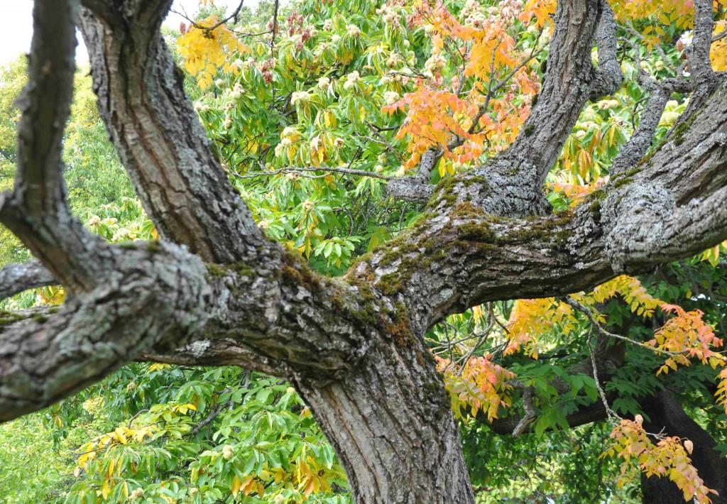 Barken är djupt fårad på Koelreuterians brett förgrenade grenverk.