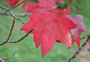 Ambraträdets löv liknar lönnens och får en fin höstfärg.