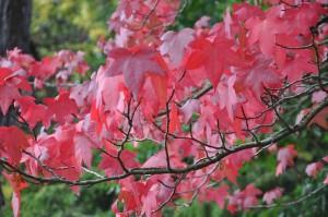 Grannt röda färgas ambraträdets löv om hösten.