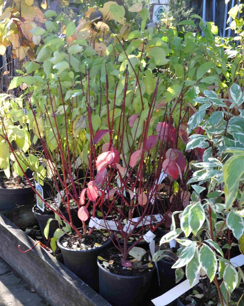 Buskar planteras gärna efter bladfallet då de inte längre avdunstar fukt.