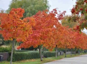 Ullungrönnen Dodong har en särskilt grann höstfärg i sina glansiga blad.