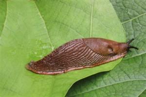 Rabarber, sparris, sallad, tagetes med flera växter älskas av den spanska skogssnigeln.