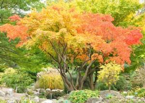 Höstfärgerna uppkommer när klorofyllet i bladen bryts ner och gula och röda färgämnen tar över.