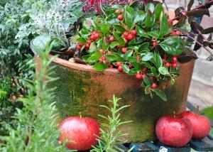Vaktelbär passar i prydnadsplanteringar i kruka ihop med t ex ljungväxter.