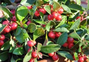 Vaktelbäret har dekorativa röda bär som sitter kvar länge.