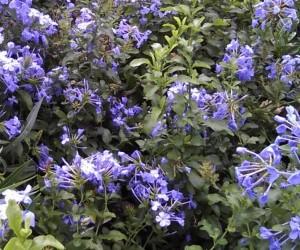 Blyblomman är en vacker medelhavsväxt som kräver frostfri förvaring över vintern.
