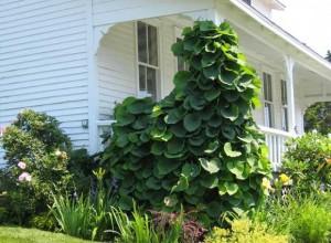 Piprankan klär in stolpar och verandatak när den väl kommer igång att växa.