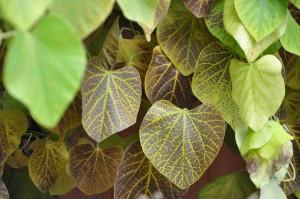 Om hösten färgas piprankans blad i ett nätformigt brunt mönster.