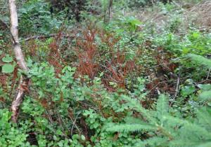 Blåbärsriset frös bort på många platser vid den sena vårfrosten.
