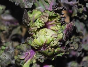 Den nya grönsaken Flower Sprouts har en mildare smak än sin släkting brysselkålen.