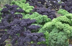 Grönkål är en grönsak som helst skördas efter lite frost.