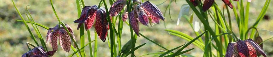 Kungsängsliljan har en schackrutig blomma.