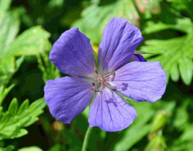 Geranium-Rozanne-blomma