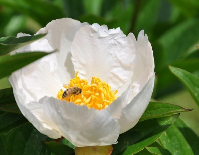 Blomflugor pollinerar växter och äter spinnkvalster och bladlöss.