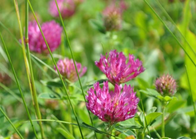 Klöver är en nyttoväxt för många pollinerande insekter.