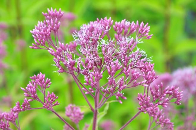 Blomflugor är nyttodjur som bekämpar bladlöss.