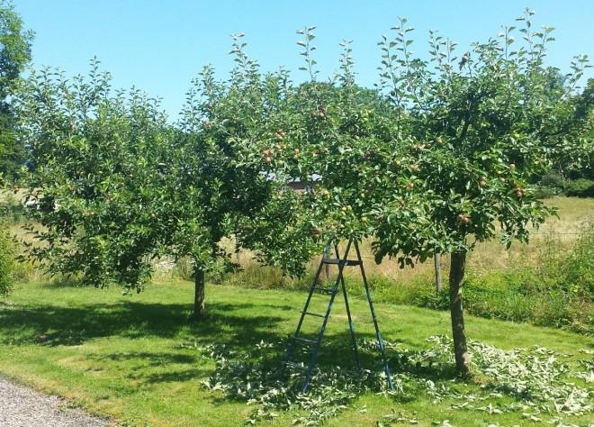 Gallring av årsskott ger bättre frukt och jämnare tillväxt.