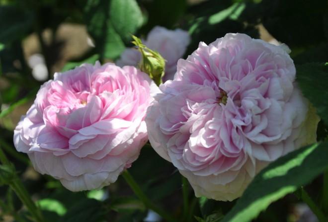Gallicarosorna har ofta en stark doft och långvarig blomning.
