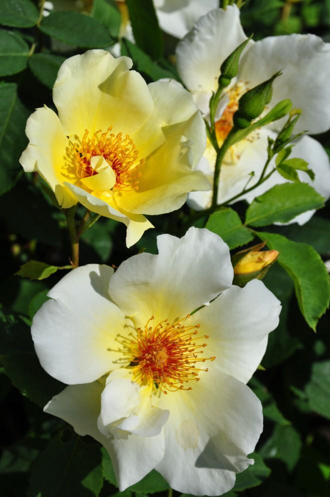 Buskrosor kan beskäras för att behålla en balanserad form och rik blomning.