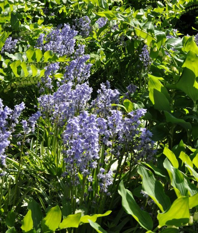Klockhyacinten är en växt som förökar sig rikligt.