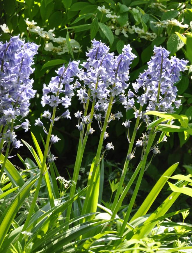 Klockhyacinter passar i naturlika planteringar och woodland.