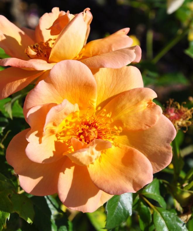 Aprikosfärgade rosor kan vara svårplacerade i trädgården, men går fint ihop med blå blommor.