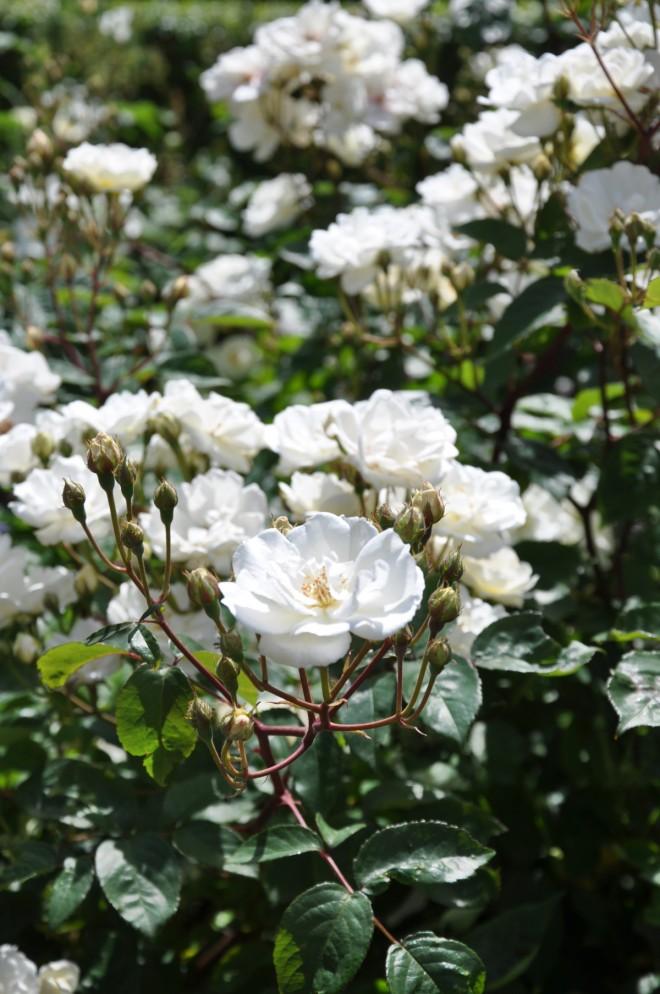 Moschatarosor skyddas mot vinterfrost med djup plantering och vintertäckning.