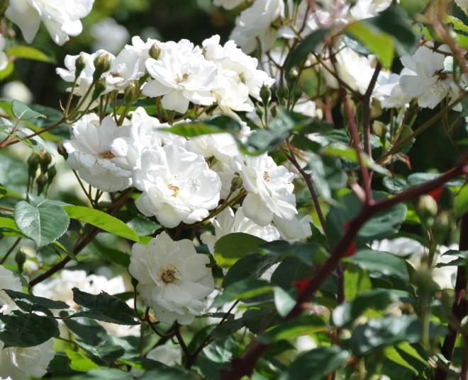 Rosen Moonlight är en rikblommig buskros för större planteringar.