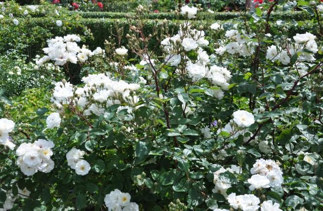 Moschatarosor är rikblommiga och tacksamma rosor.