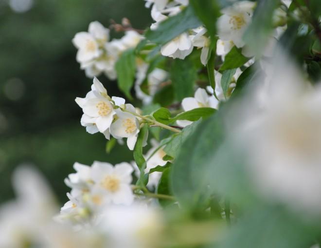 Riklig blomning under lång tid, men däremellan en lite risig buske. Det är schersminen.
