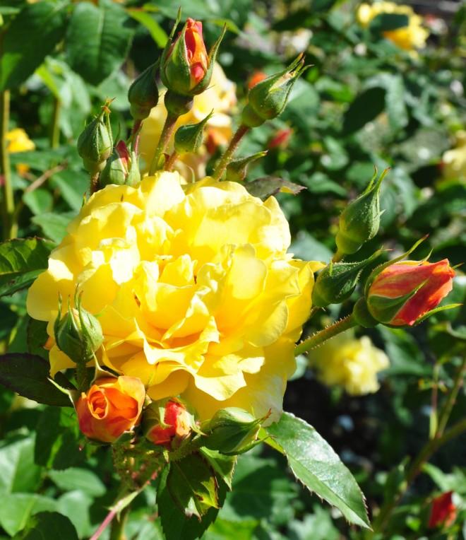 Postillion är en Kordes-ros framtagen i Tyskland.
