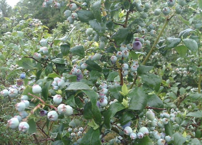 Blåbär, lingon och hallon är vanliga bärväxter som pollineras av humlor.