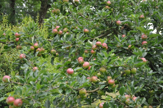 Sommarbeskärningens syfte är att begränsa skottillväxten och ge frukten utvecklingsmöjligheter.