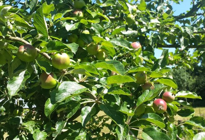 Gallring av årsskott för att ge frukten mer ljus.