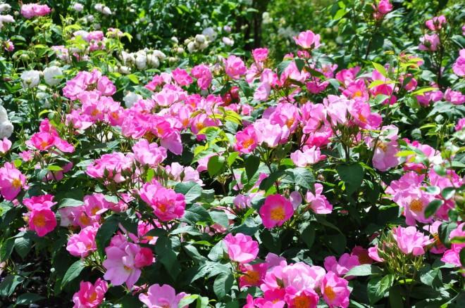 Gallicarosor är lättskötta med pålitlig blomning.