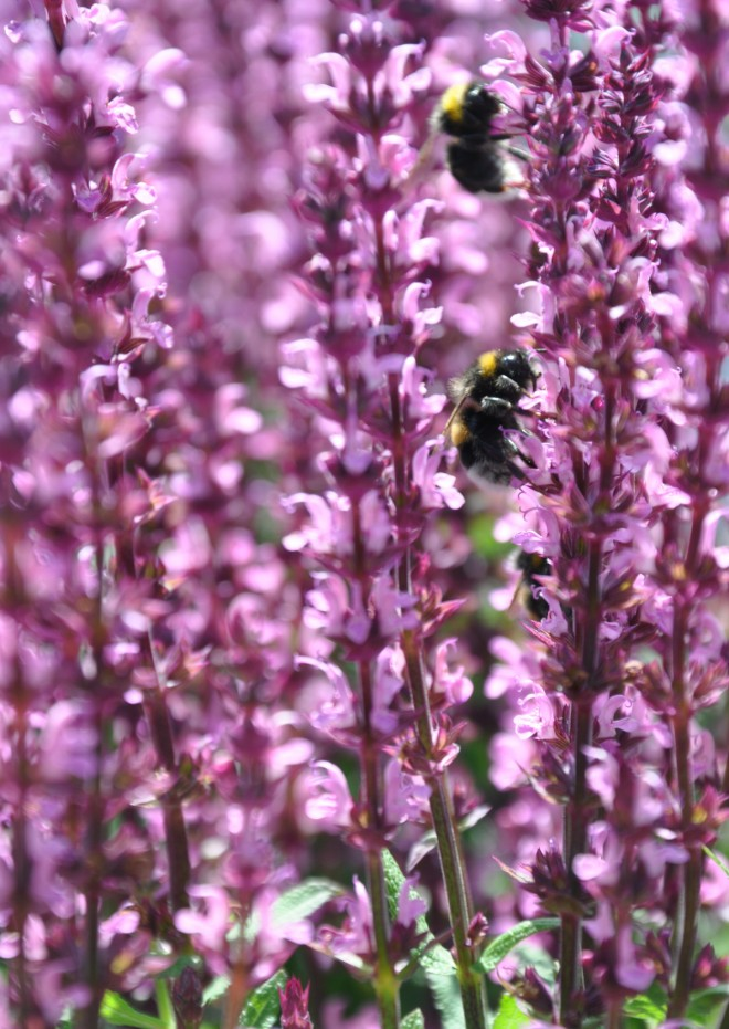 Humlor letar nektar och pollen i både vilda och trädgårdsodlade växter.