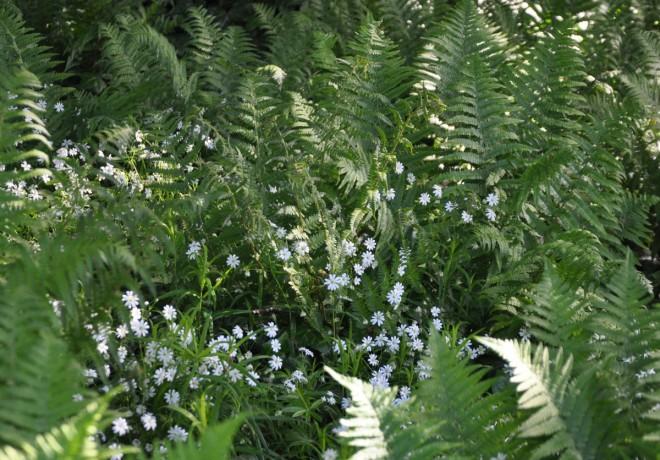 Ormbunkar och bräkenväxter trivs i samma miljö som rams.
