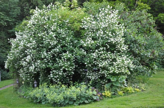 Schersminer gallras under vårvintern för att behålla busken grön ända nerifrån.