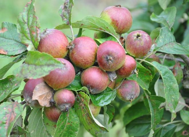 Fruktgallring ger större och smakligare frukter.