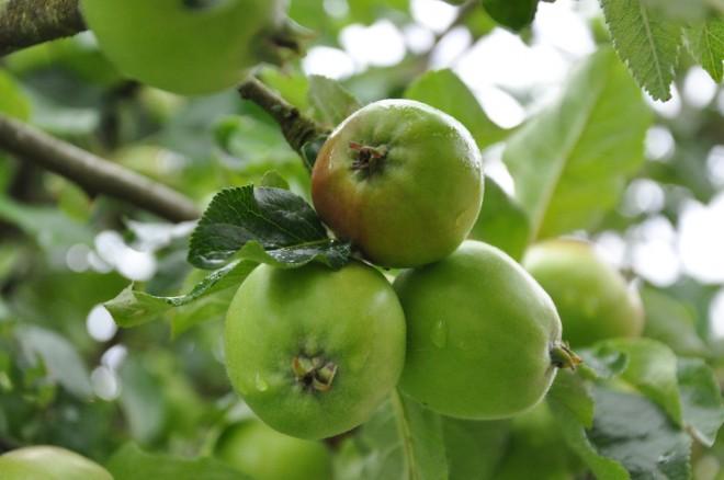Kartgallring ger större och sötare äpplen.