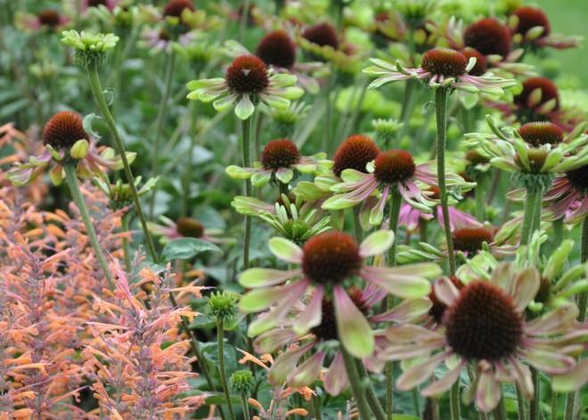 Echinacea är en fin höstblomma.