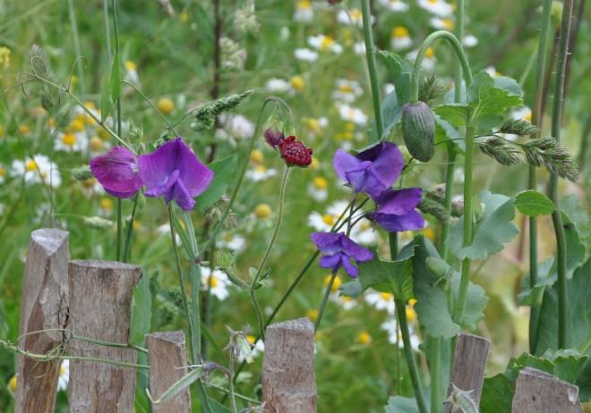 Luftärter hör den engelska trädgården till.
