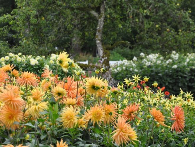 Dahlior är höstens blommor.