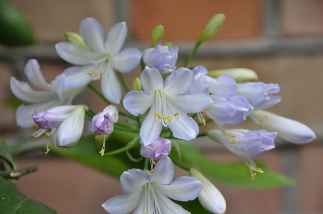 Agapanthus finns i blått, ljusblått och vitt.
