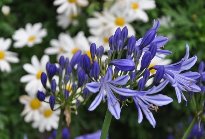 Afrikas blå lilja finns i många olika arter.