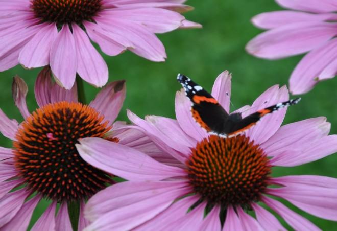 Fjärilsväxter som blommar om hösten är viktiga i rabatten.
