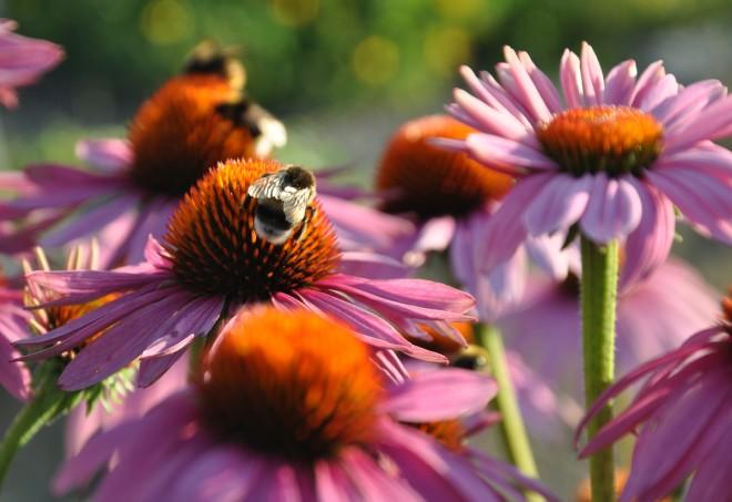 Fjärilar och humlor finner mat i rudbeckians blommor.