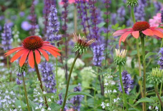Röd solhatt är en fin insektsväxt.