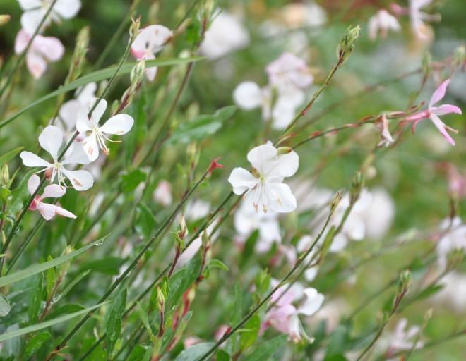 Gaura ären sommarblomma som håller igång hela säsongen med vita stjärnformiga blommor på långa stjälkar.