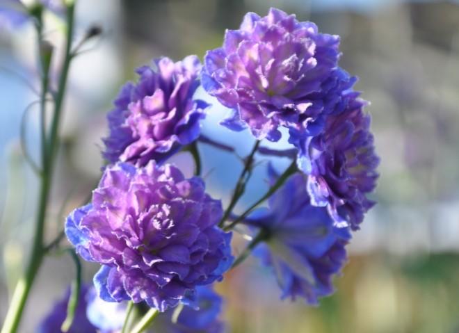 Dubbla blommor och kraftiga blomstjälkar har en del riddarsporrar.